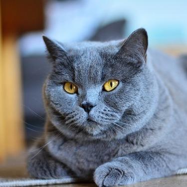 シャルトリューとはどんな猫?性格・価格・写真をご紹介!