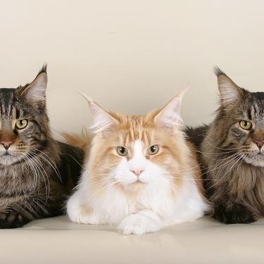 【画像あり】大型猫の種類5選!世界・日本で一番大きい猫とは?