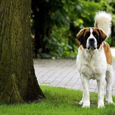 セントバーナードの性格や飼い方・しつけのコツをご紹介!