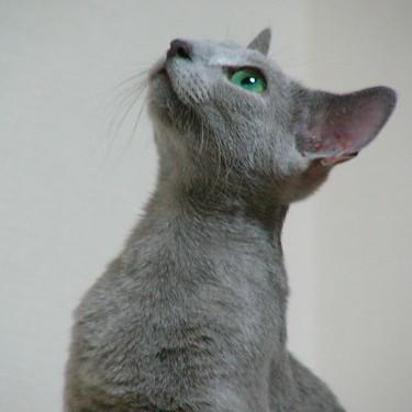 ロシアンブルーの目の色は何色?【見本/成長過程】