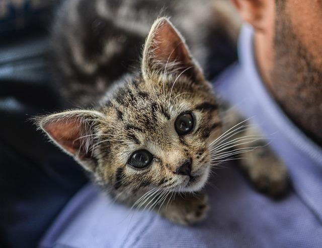 猫が肩に乗る理由とは?肩に乗りやすい猫の種類や特徴もご紹介!