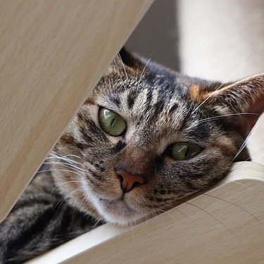 「クラシックタビー」とはどんな柄?柄の種類・猫の特徴を紹介!