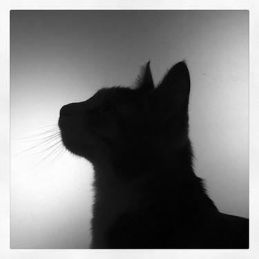 ピクシーボブってどんな猫?性格・飼い方・値段をご紹介!