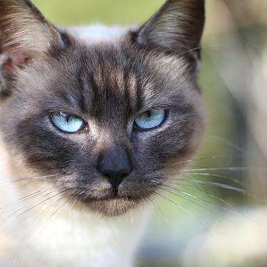 シャム猫とのミックス「シャムミックス」の種類と特徴まとめ!全部で種類?