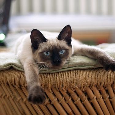 シャム猫に似た猫「タイ」とはどんな猫?シャム猫との違いとは?