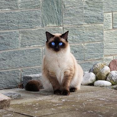 丸顔のシャム猫は希少?画像や探し方についてご紹介!