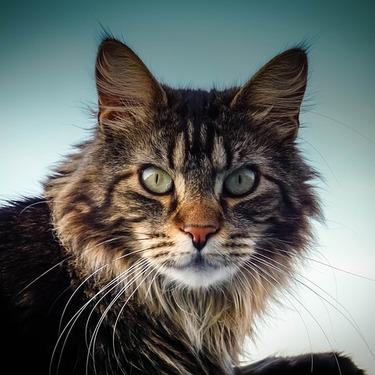 「メインクーン」と「メイクイーン」どっちがじゃがいも・猫?