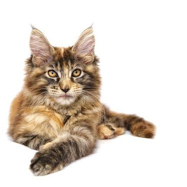 【東京・関東】メインクーンがいる猫カフェ5選をご紹介!