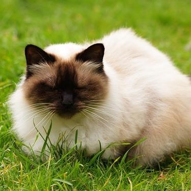 ヒマラヤンとはどんな猫?性格・画像・値段をご紹介!