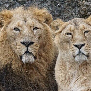 【夢占い】ライオンの夢の意味19選!追いかけられる夢にはこんな暗示があった!