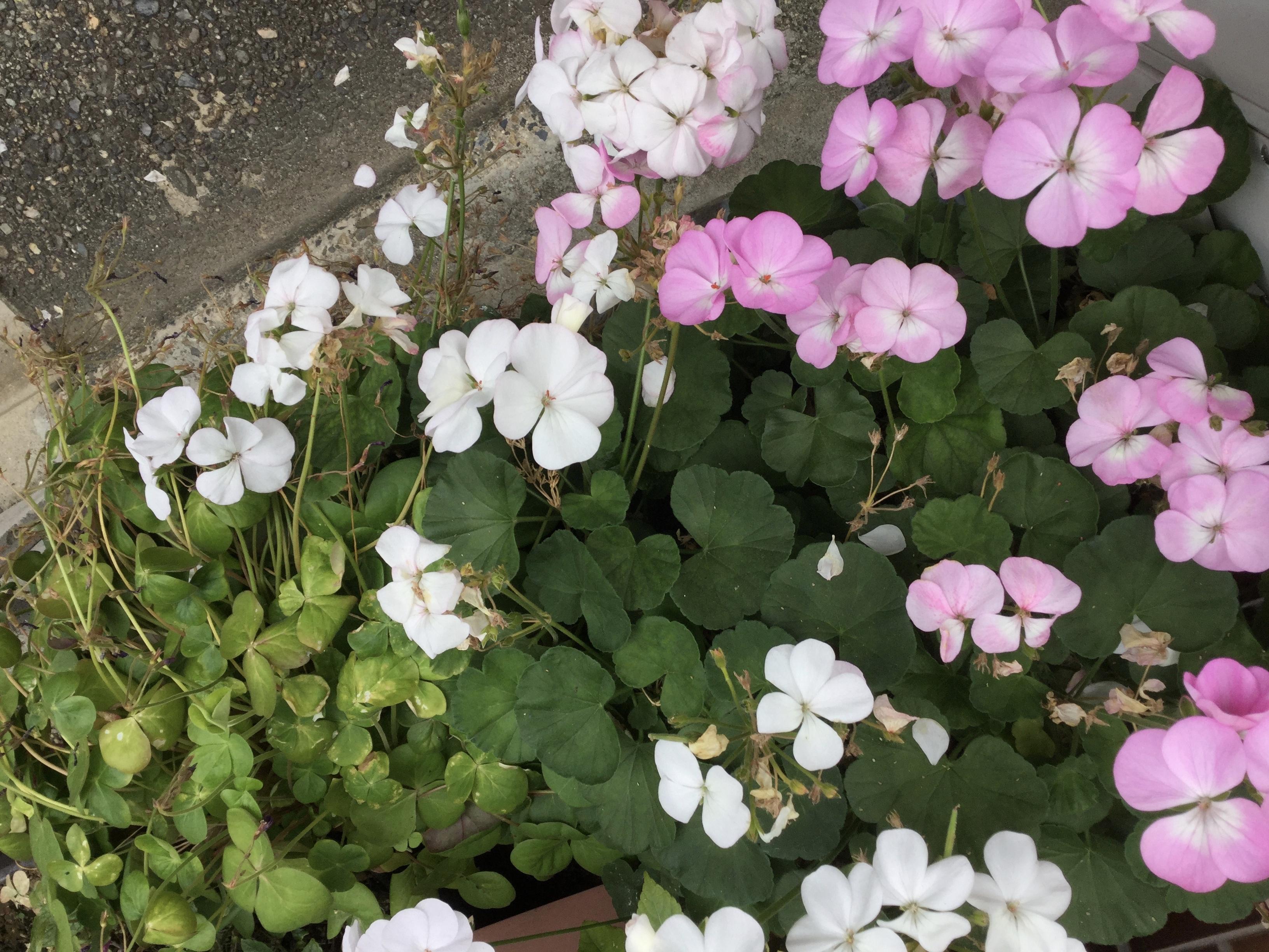 ピンクと白の花の写真です。