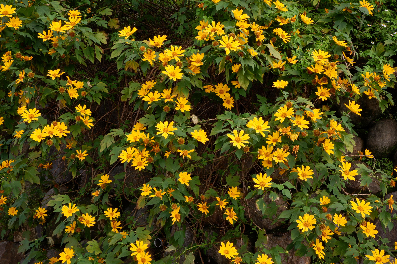 黄色い花の写真です。