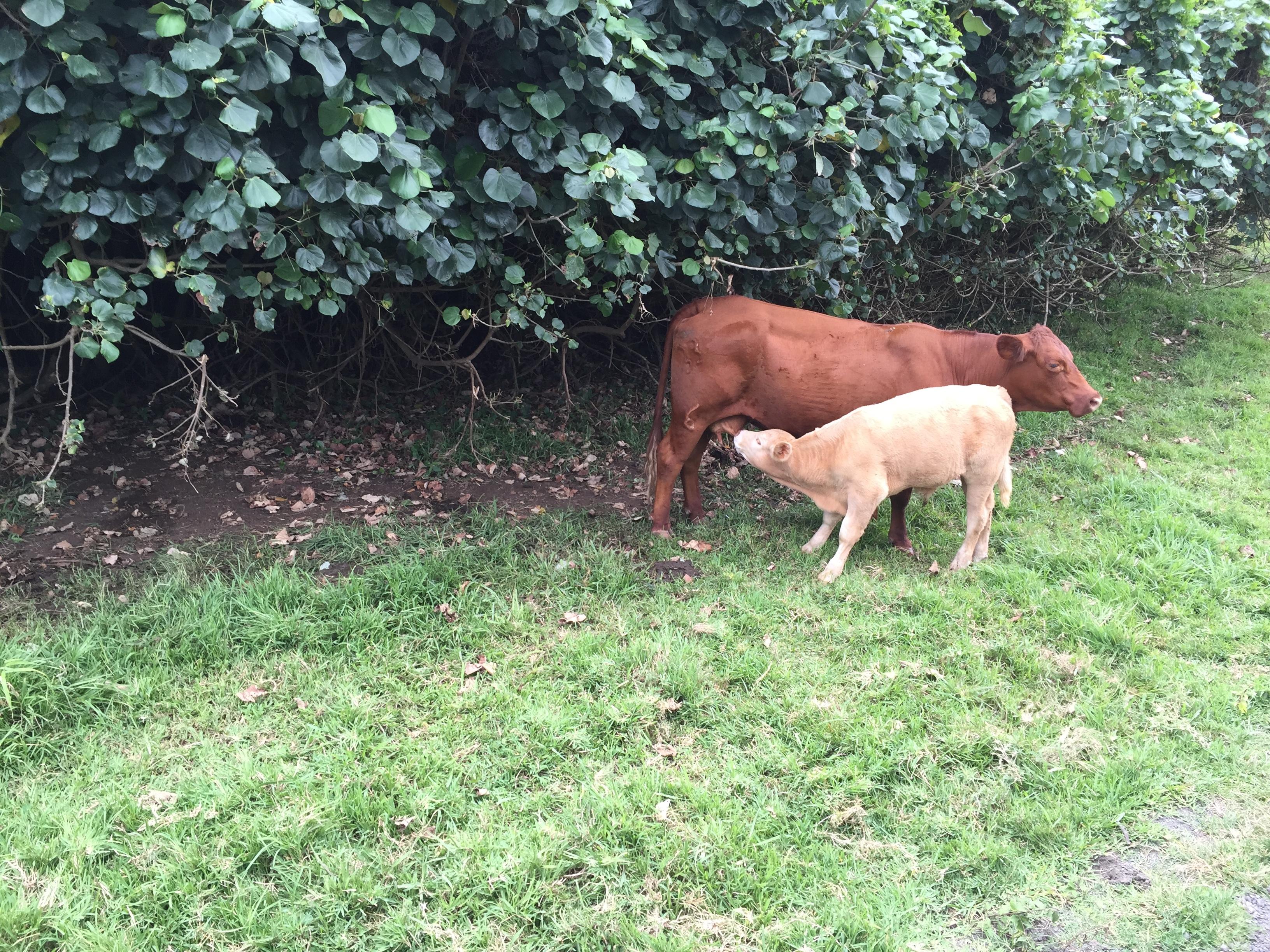 ハワイの牛2匹