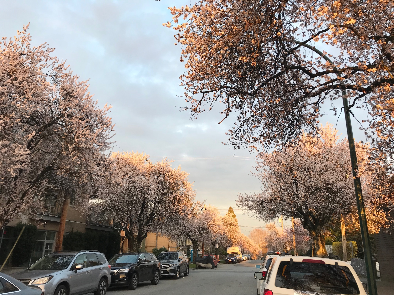 桜が満開の外国の道の様子。