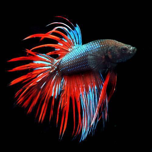 ランキング 美しい 熱帯魚