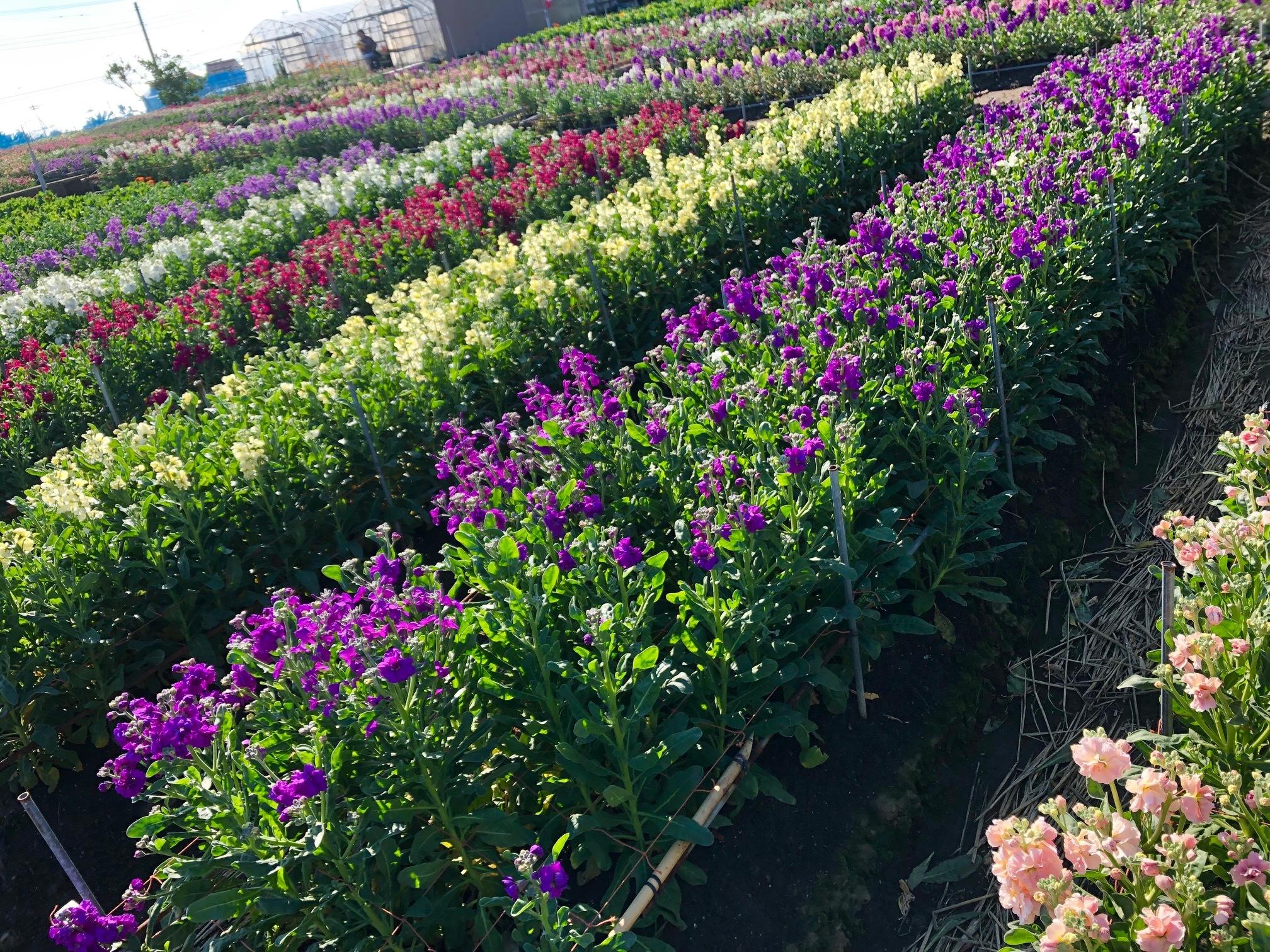 個人撮影:白間津の花畑