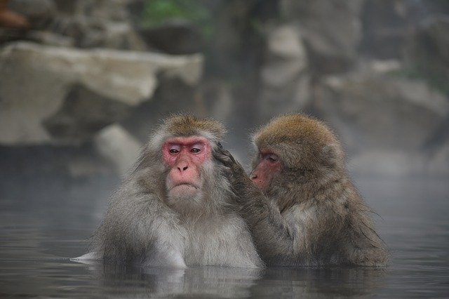 スノーモンキーを見に行こう!地獄谷の温泉につかるかわいい猿をご紹介!