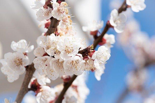 水戸の梅まつりの見どころを解説!2020年の開花時期はいつ頃?