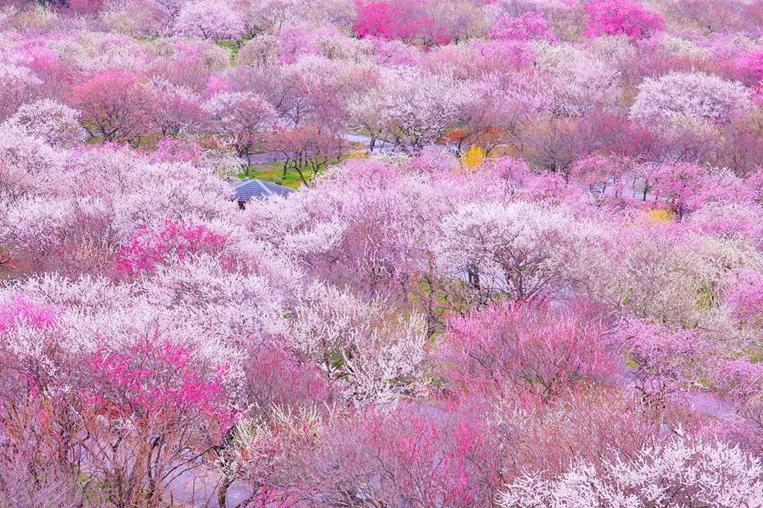 日本全国の有名な梅まつり16選!人気の名所や穴場のスポットをご紹介!
