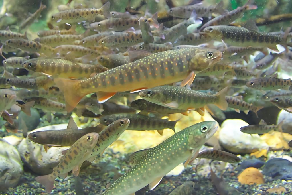 オショロコマは北海道にしか生息しない絶滅危惧種のレアな魚!