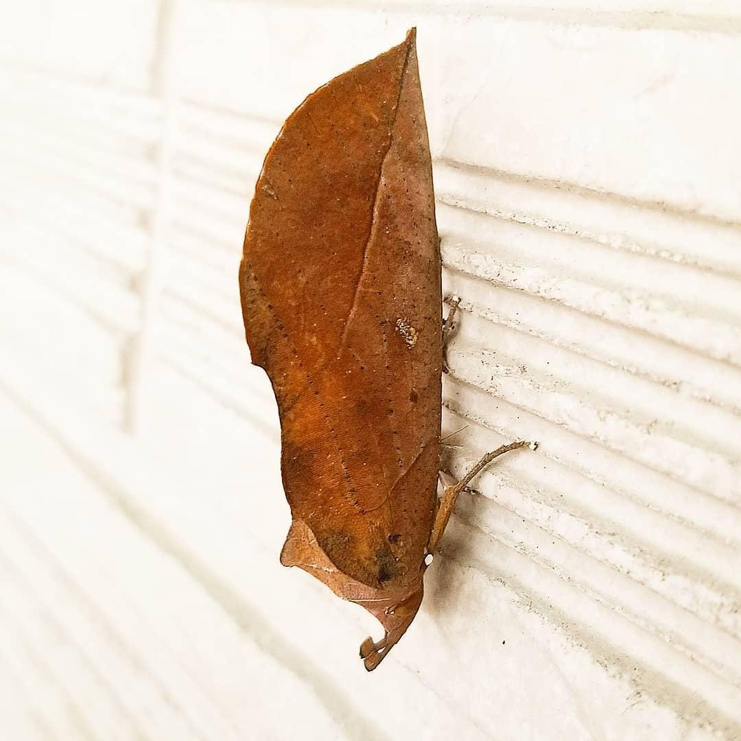 アケビコノハとは?枯れ葉そっくりのおもしろい蛾の特徴をご紹介!