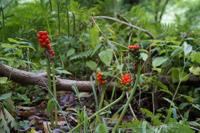 マムシグサはどんな植物?特徴から食べ方まで徹底解説!