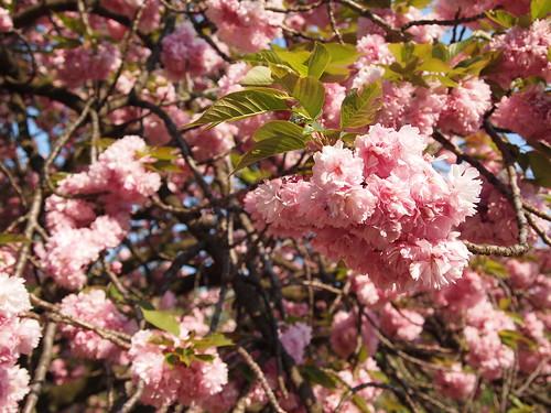 cherry blossoms in Shinjuku Gyoen