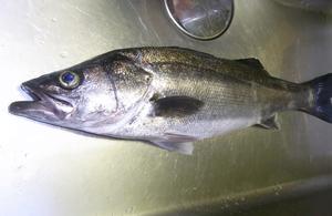 シーバスは食べるとおいしい?他のまずいと言われる魚と合わせてご紹介!