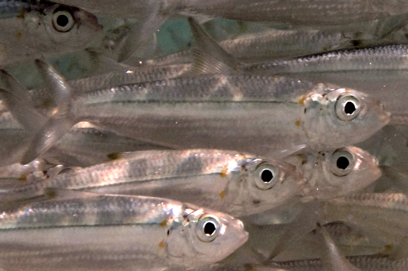 ミジュンとは?沖縄の大衆魚の特性や釣れる場所、旬の季節などをご紹介!