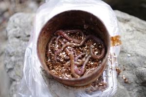 塩イソメの作り方は?余ったエサを保存できる簡単な締め方をご紹介!