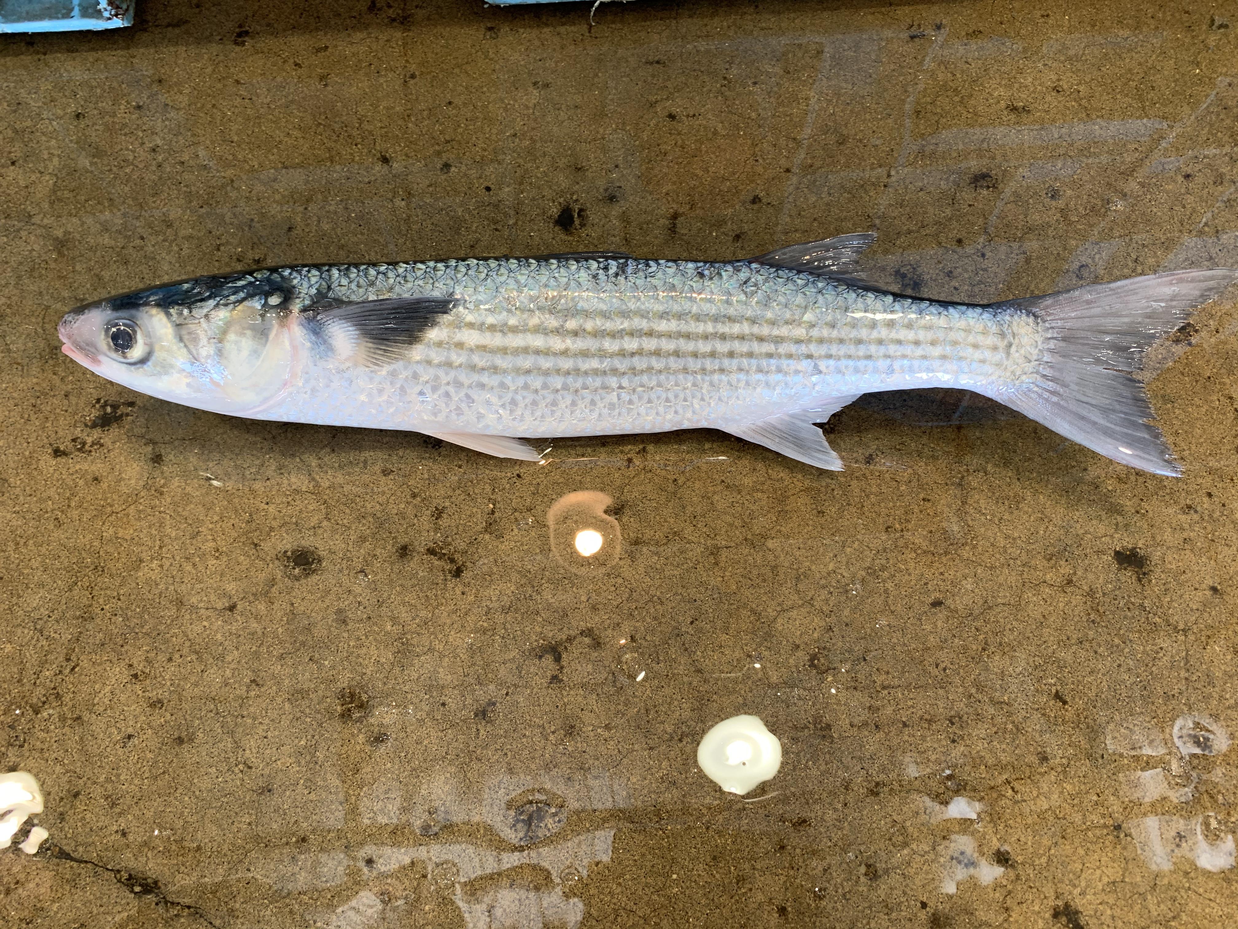 ボラってどんな魚?特徴や色々な名前の呼び方、料理方法までご紹介!