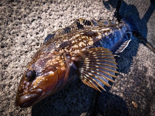 アイナメってどんな魚?特徴や生息地、旬の時期、おいしい料理方法をご紹介!