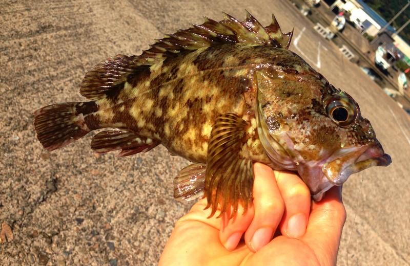 カサゴってどんな魚?特徴や生態、生息地などをご紹介!