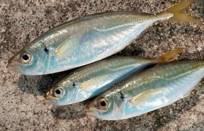 鳥取でサビキ釣りをするならココがおすすめ!初心者でも釣れるポイントをご紹介!