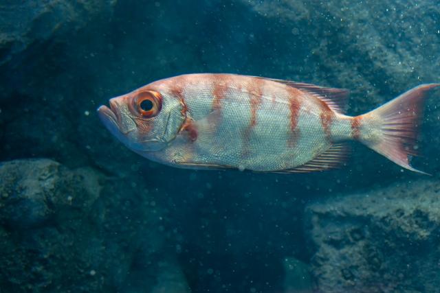 アカムツの特徴は?生息地や水深などの生態と釣り方のコツをご紹介!