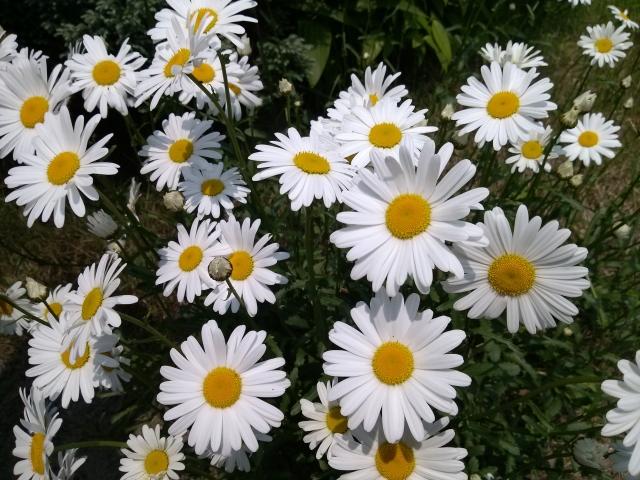 雛菊(デイジー)の花言葉は色別に変る!その意味から花の特徴もご紹介 ...