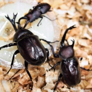 カブトムシの育て方!夏から冬まで長生きさせる飼育方法や繁殖のコツを解説!