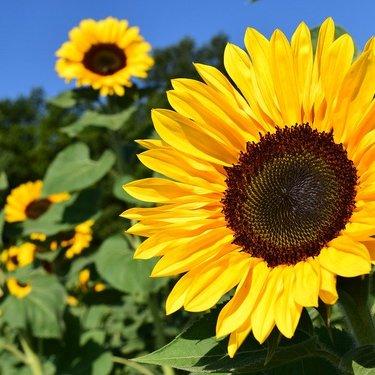 ひまわりの花言葉10の意味と人気の種類を13品種ご紹介♡
