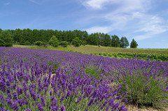 富良野のラベンダー畑の時期や見ごろはいつ?まつりや花火など楽しみ方!