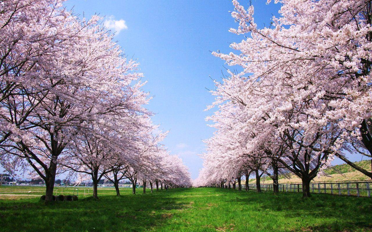 青森の桜の名所9選!2017年の開花予想や見頃はいつ?お花見の計画に!