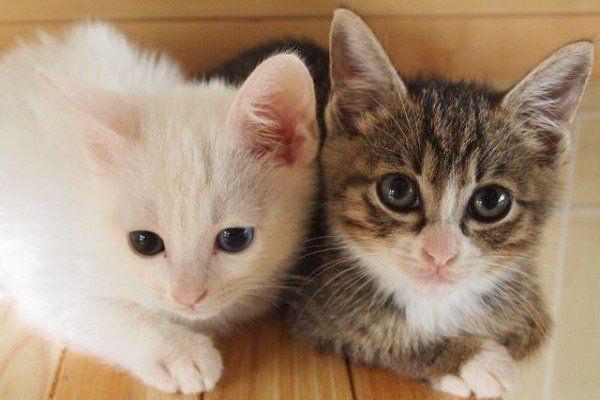 札幌市の猫カフェのおすすめを紹介!大人気の店でかわいい猫とふれあい!