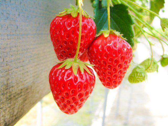 埼玉越谷でイチゴ狩り!人気でおすすめできる農園を紹介!口コミを!