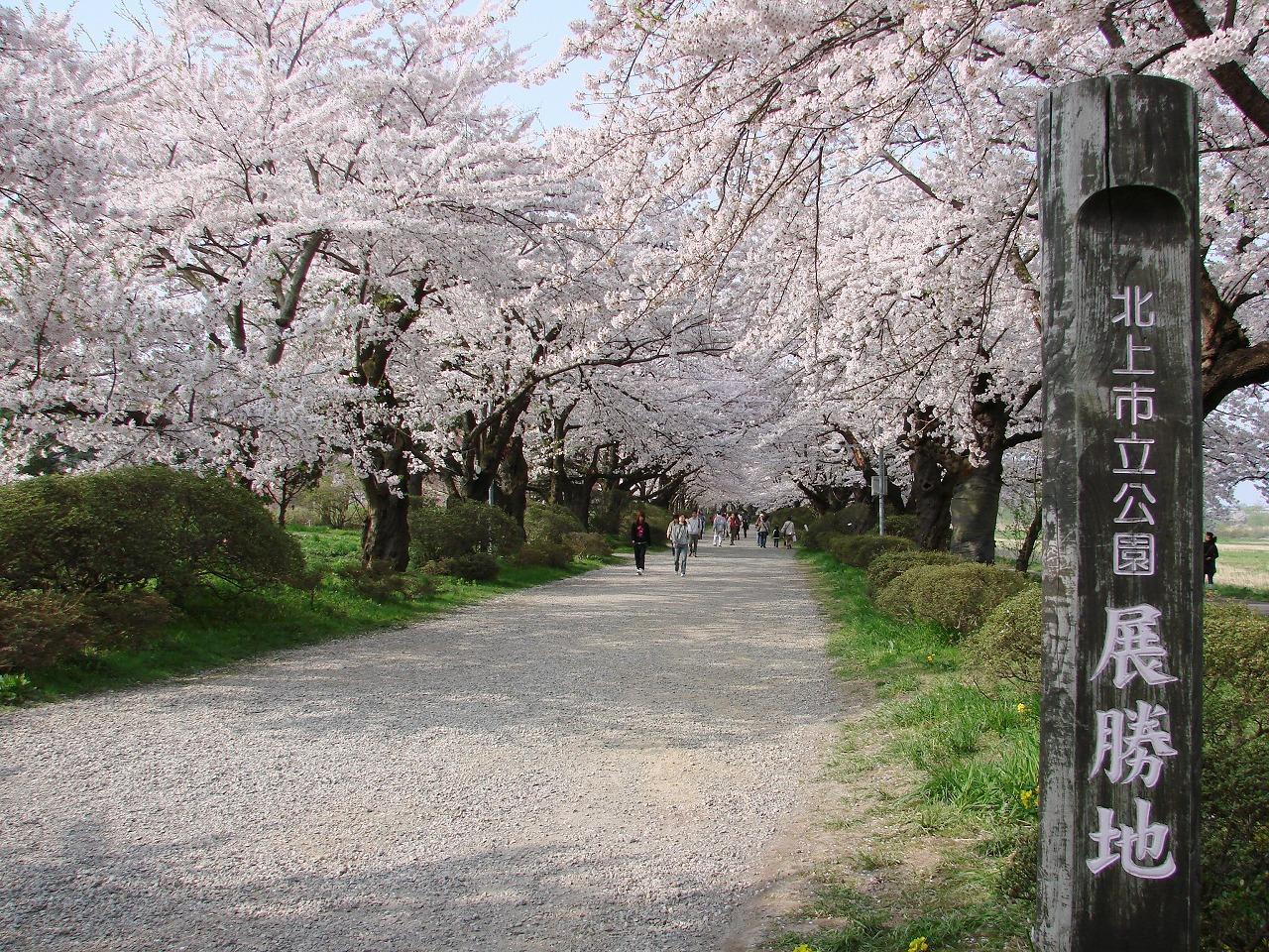 北上展勝地の桜情報まとめ!さくらまつりも開催!お花見の見頃はいつ?