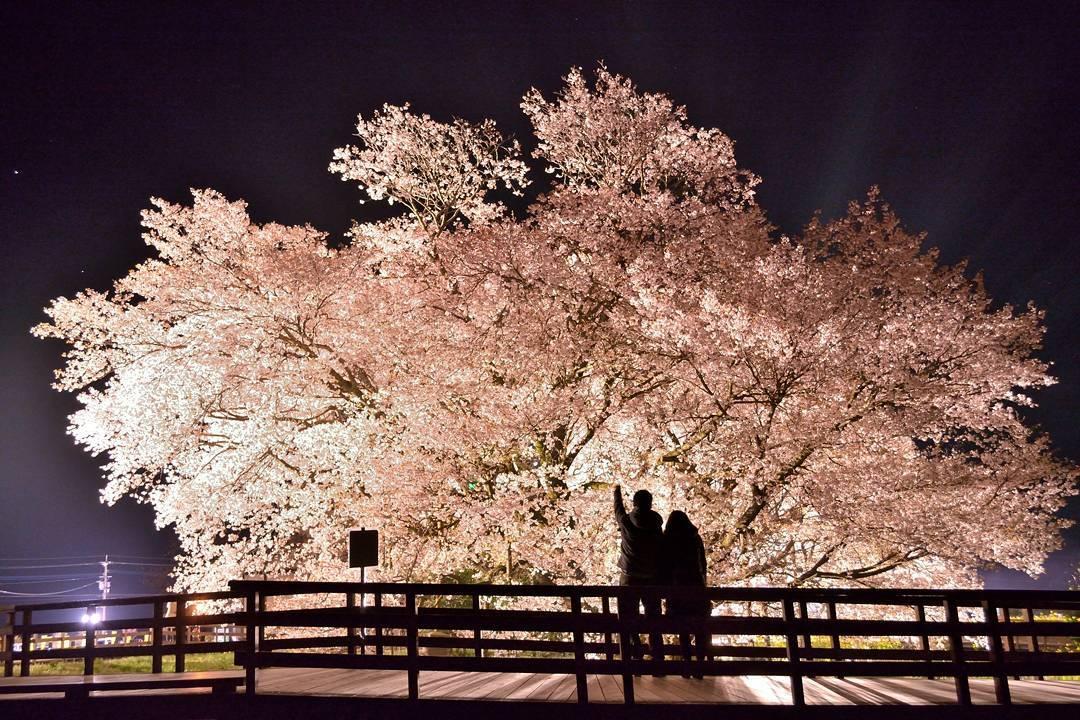 熊本の『一心行の大桜』は桜の名所!2017年のお花見開花予想は?