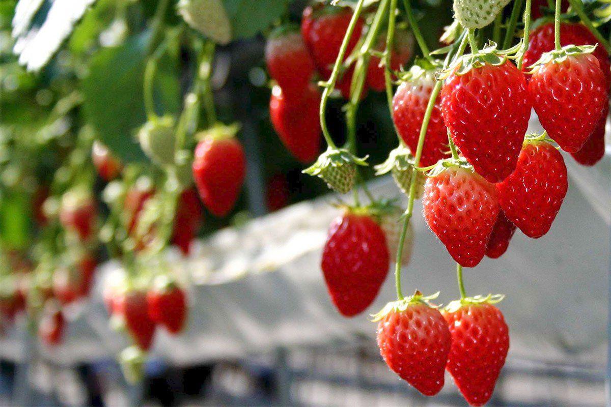 埼玉県でイチゴ狩りならココ!人気おすすめランキングTOP7!
