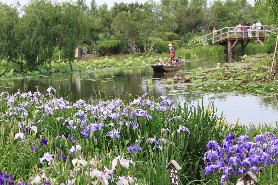 水郷佐原水生植物園のあやめ祭り!舟に揺られて花菖蒲を楽しむ!