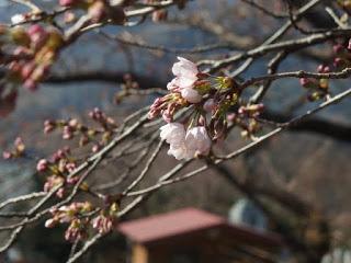 桜の開花はいつ?神奈川県内の桜の名所や桜祭りの情報をご紹介!