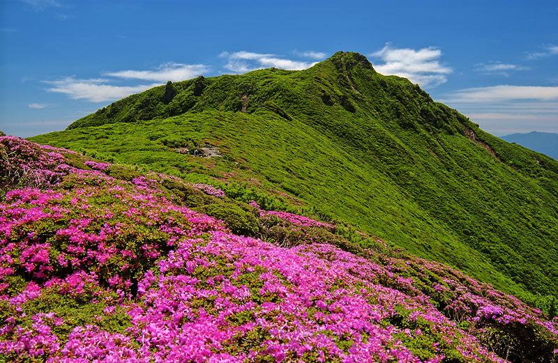 ミヤマキリシマの開花時期・見頃・九州内でのおすすめスポットまとめ!