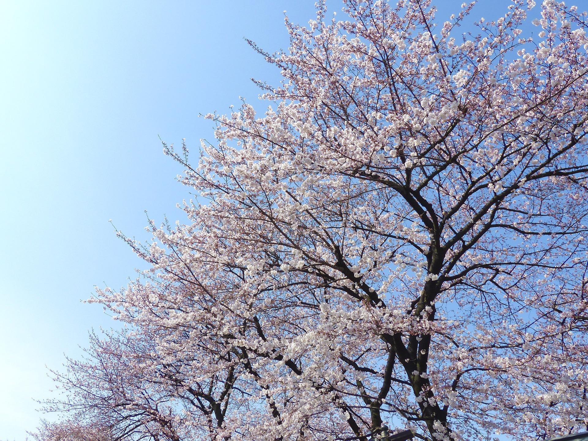 奈良県の桜の名所特集15選!2017年開花情報と穴場スポットをご紹介