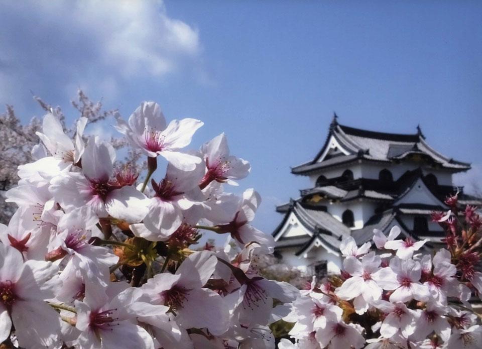 彦根城桜まつり!見頃・開花情報まとめ!ライトアップや屋台も出る!